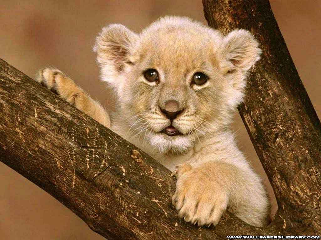 http://2.bp.blogspot.com/_ps2X2mre5IM/TGxYz1AkRFI/AAAAAAAABvM/8Sjqwv3GE9k/s1600/baby-lion-wallpaper-1.jpg