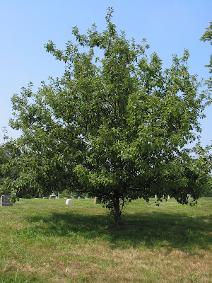 The Cortland apple tree (Malus
