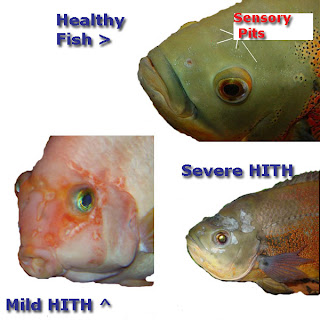 Examples of hole in the head in fish, HITH, sensory pits