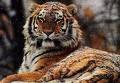 Сибирски Тигър!!!