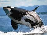 Косатка Китове убийци!!!