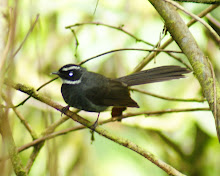 Murai Batu (long-tailed sibia)