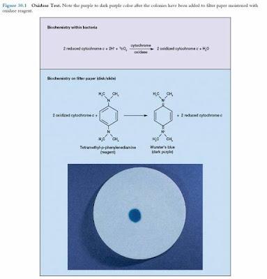 اطلس الميكروبيولوجي -1- Oxidase+test