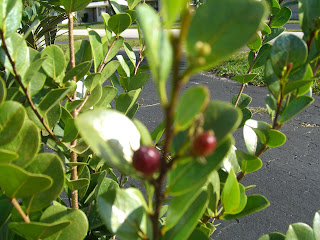 Coco Plum with Baby Plums