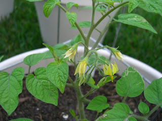 Yellow Submarine Heirloom Tomato with Flowers