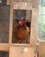 Kathy the Rhode Island Red