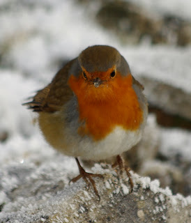Winter in Limerick Ireland - Robin