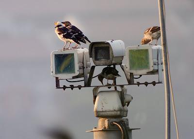 關渡自然公園, 黑領椋鳥站在監視器上