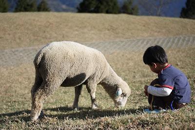 青青草原,餵羊吃草。