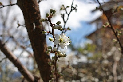 民宿裡的桃花盛開