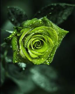 http://2.bp.blogspot.com/_q3ZN58OvfWQ/S6Xsv0e_A2I/AAAAAAAAAsg/g5dVbXSi-Yg/s320/setangkai+mawar+hijau.JPG