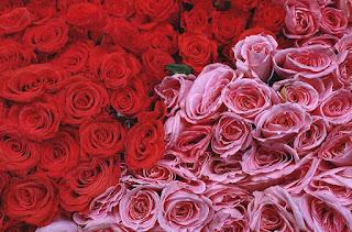 Mawar Pink dan Merah