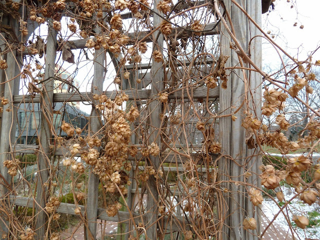 Humulus lupulus, hops vine, in autumn, seedheads at Queens Botanical garden
