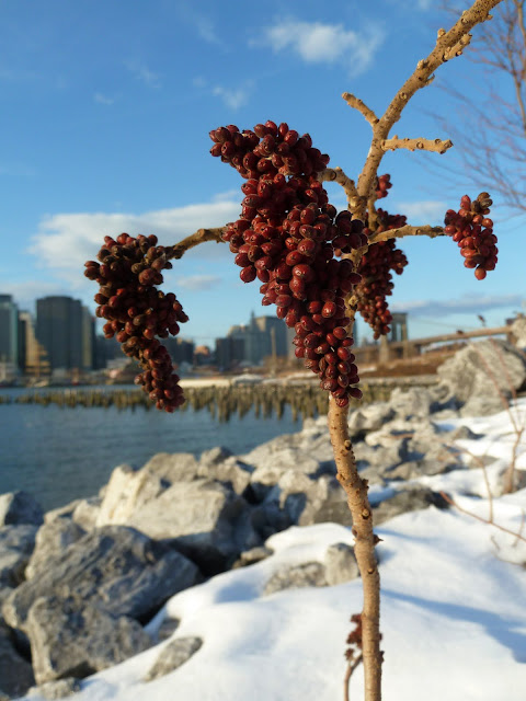 Smooth Sumac berries, Brooklyn Bridge Park