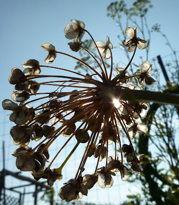 Garlic chive flower going to seed in fall
