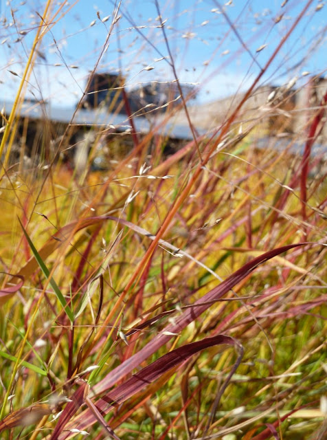 Panicum virgatum 'Shenandoah' in fall at High Line