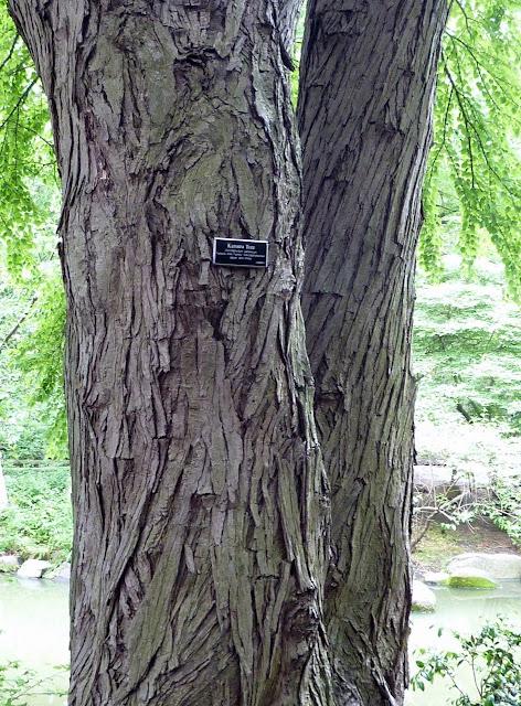Katsuratree bark, Brooklyn Botanic