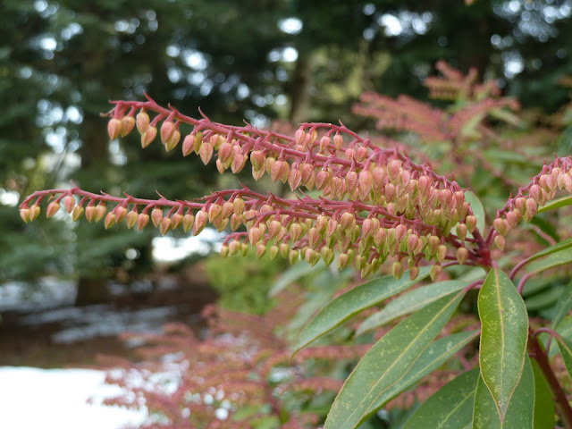 Pieris japonica red flower buds in winter, New York Botanical Garden