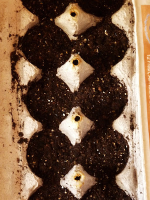 spinach seeds sown in egg carton