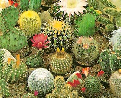 O que voc? sabe sobre Cactaceae?