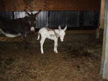 NEW BABY MINI DONKEY