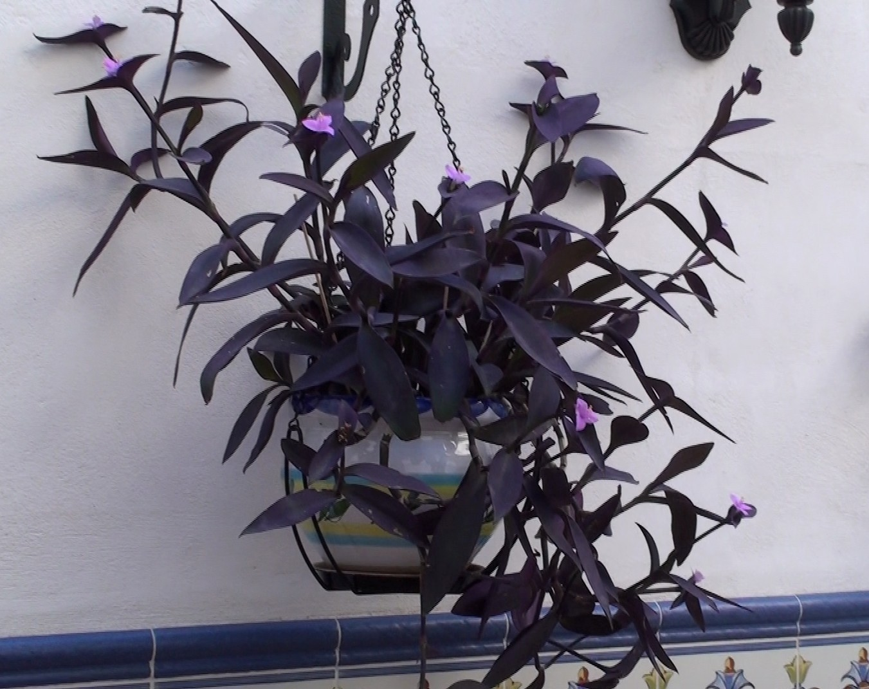 Imagina t plantas de jardin amor de hombre for Plantas aromaticas exterior todo el ano