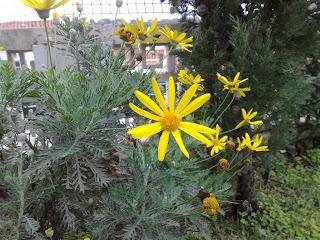margaridas amarelas (Euryops pectinatus)