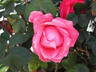 rose_03042009
