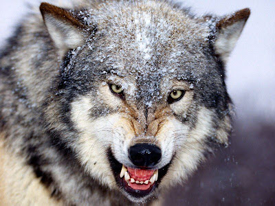 Diffrent sides,The Black and White wolf Snarling_Gray_Wolf