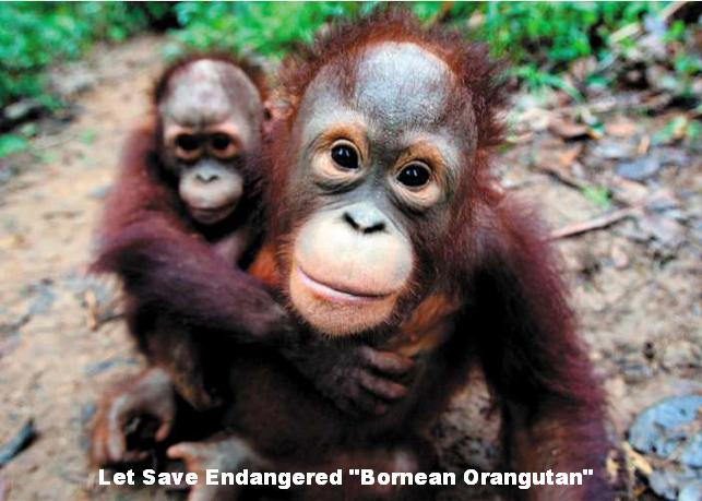 Image of: Endangered Species Why Are Orangutans An Endangered Species Facts About The Bornean Orangutan And The Sumatran Orangutan Prolonging Me Prolonging Me Time To Speak Up Why Are Orangutans An