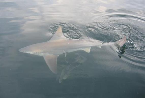 Bull shark 1 - *~~~Compitition Of Cyber Shot June 2012~~~*