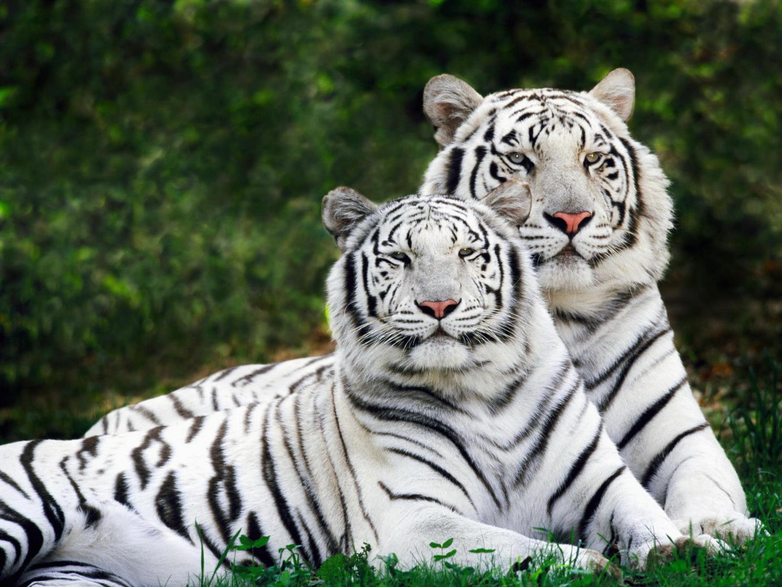 of Bengal have pink noses, white-to-creme colored fur and black, grey