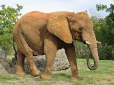 სპილო