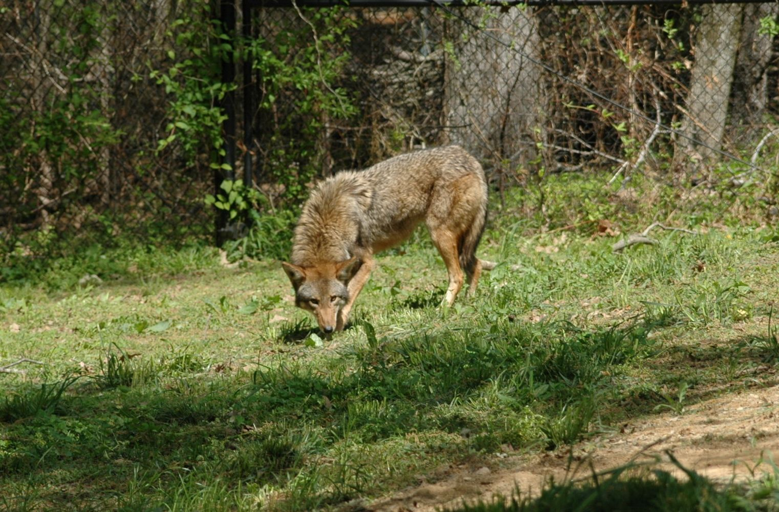 New Female Red Wolf