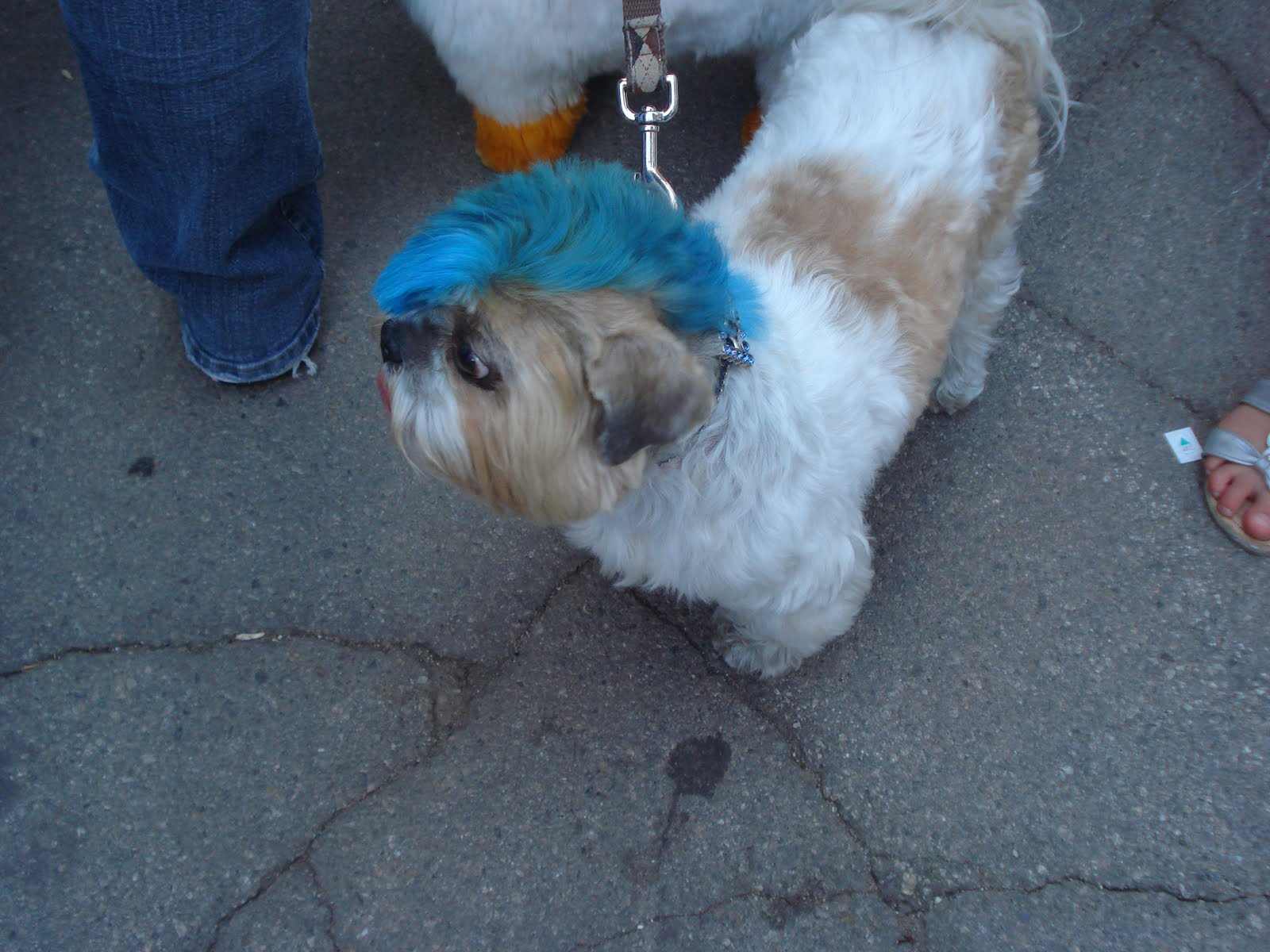 Pics of Dogs Shih Tzu with Mohawk