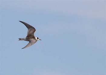 Black Tern by Max Silverman