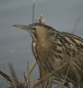 Bittern by Dave Hutton