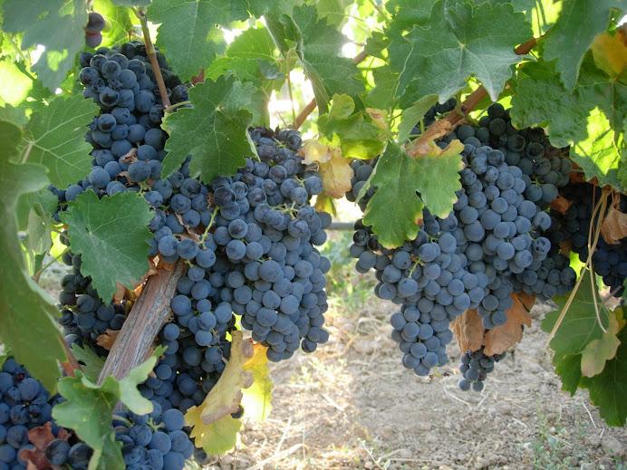 La base de un buen vino