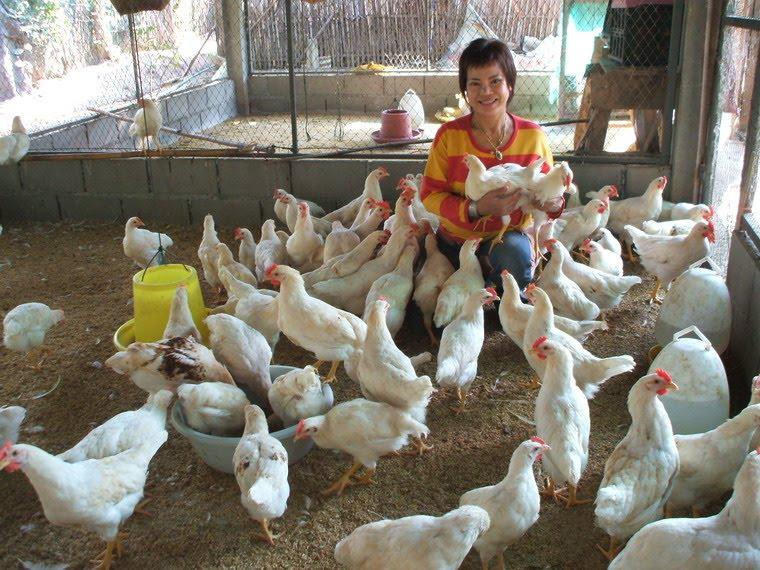 ไก่ไข่เลี้ยงเป็นรุ่น