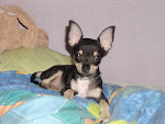 CHIHUAHUA DEL MES