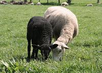 Yearling Katahdin ewe with black lamb