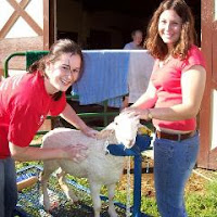 students working with a lamb at UMCP (image by Lindsay Callahan)