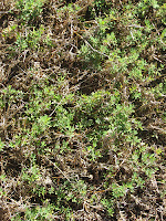 Sericea lespedeza planted at Fort Valley State University (GA)