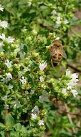 bee in Annisquam Herb Farm