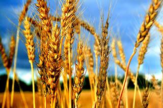 [Image: wheat+1.jpg]