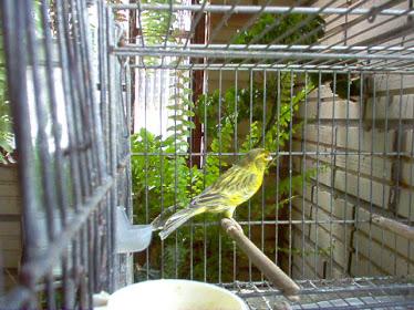 Canário Verde Opalino