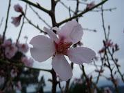 21.2.10 Arboles, Prunus dulcis 16 comments. ¡Qué alegría! (alm rosa flor)