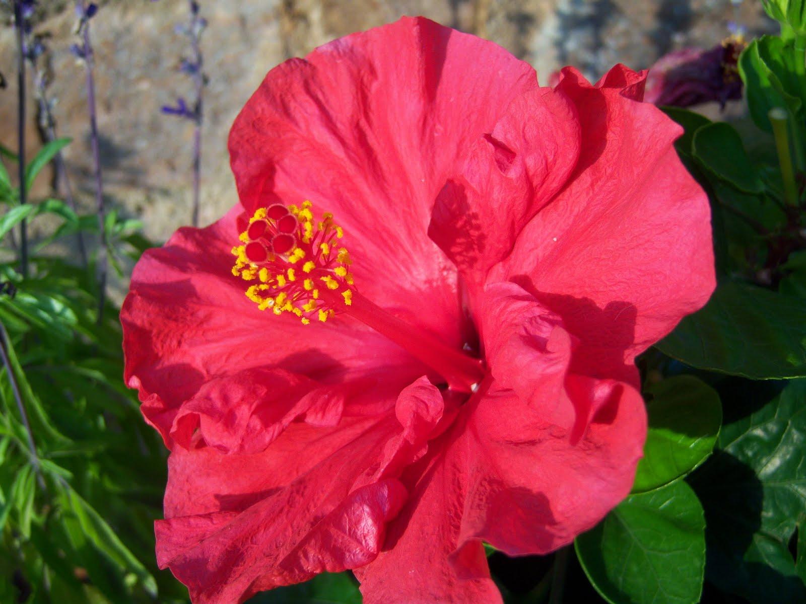 Hibisco rosa de china bot nic serrat - Rosas chinas ...