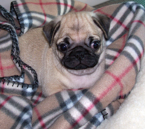 Pugs look best in Burberry