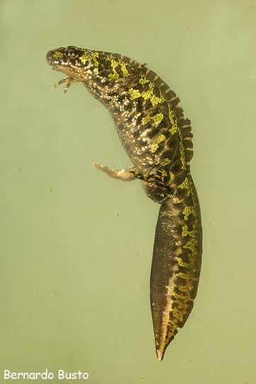 Triturus marmoratus Tritomarmoratu